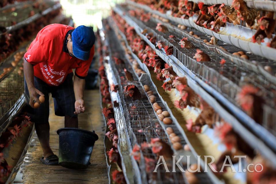 Peternak mengambil telur ayam di Cilodong, Depok, Jawa Barat, Jumat (3/8/2018). Badan Pusat Statistik ( BPS) mencatatkan inflasi Juli 2018 sebesar 0,28 persen. Angka tersebut turun dari pada inflasi Juni 2018 lalu yang sebesar 0,59 persen. Kenaikan inflasi tersebut dipicu oleh peningkatan harga yang ditunjukkan oleh kenaikan telur ayam ras yang menjadi komoditas penyumbang terbesar inflasi Juli 2018, disusul oleh daging ayam ras dan bensin. | AKURAT.CO/Dharma Wijayanto