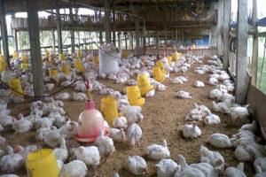 Pentingnya Manajemen Tempat Pakan dan Minum Ayam Broiler