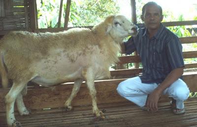 Potensi Pengembangan Ternak Domba Waringin